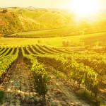 04-tuscany-vineyard